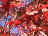 [Red leaves]